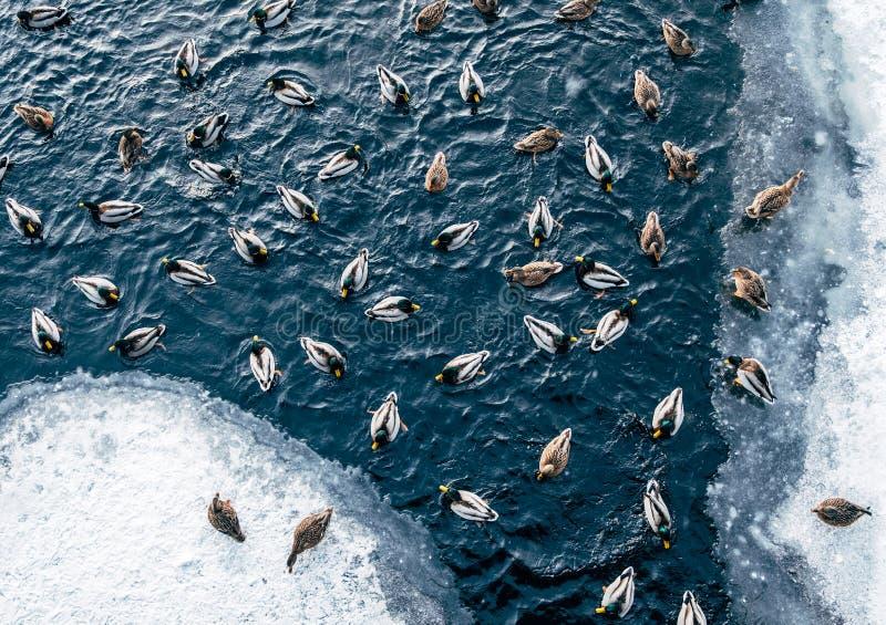 Enten, die auf Winterteich schwimmen stockfoto