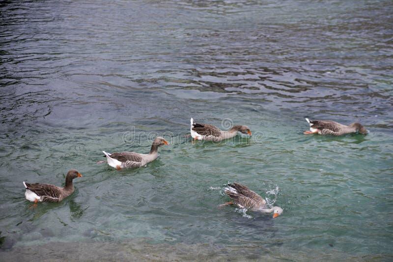 Enten, die ein Bad in den See nehmen lizenzfreie stockfotos