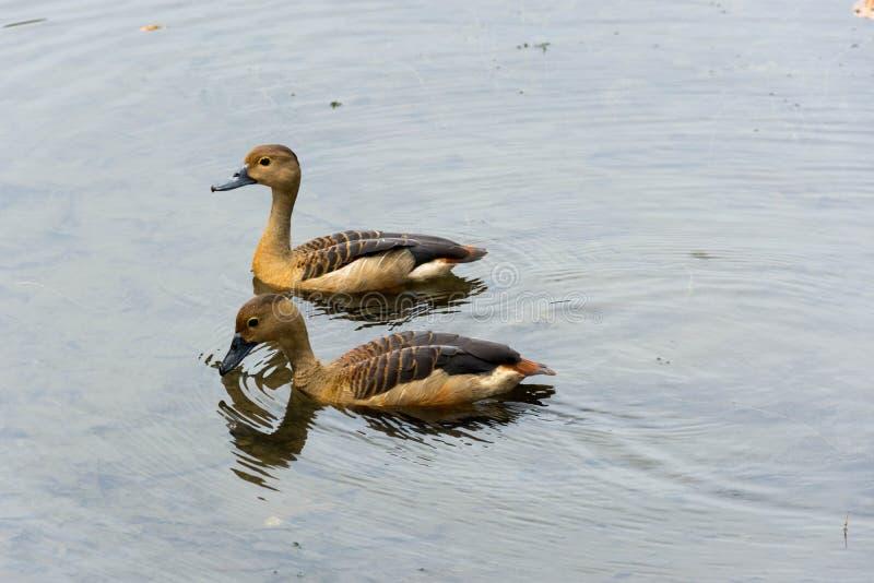 Enten, die in einem See schwimmen lizenzfreie stockfotografie