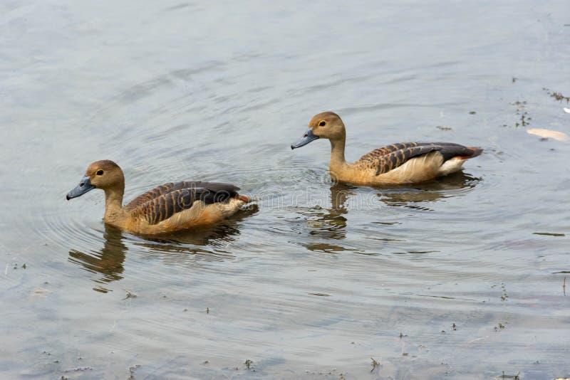 Enten, die in einem See schwimmen stockbilder