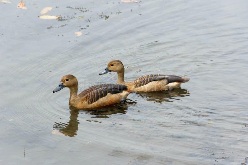 Enten, die in einem See schwimmen stockfotos