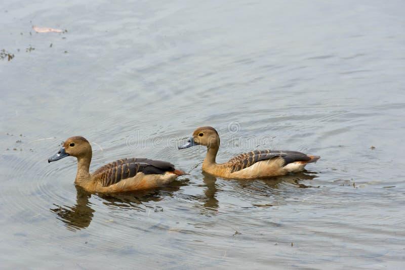 Enten, die in einem See schwimmen lizenzfreie stockbilder