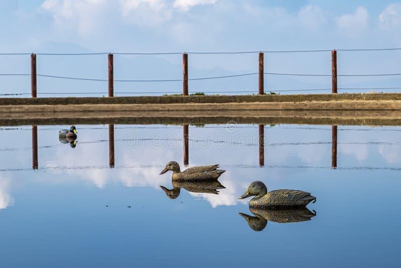 Enten, die in einem See widerspiegeln lizenzfreie stockfotos