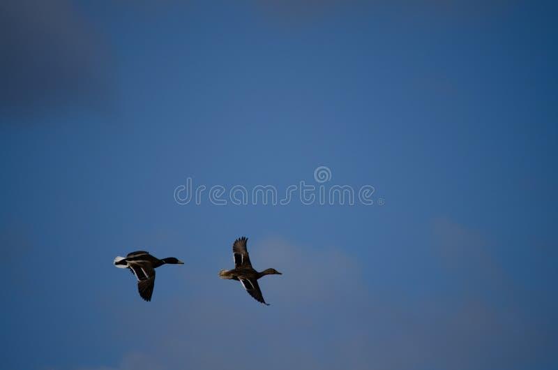 Enten, die die Freiheit des Flugs genießen lizenzfreies stockfoto