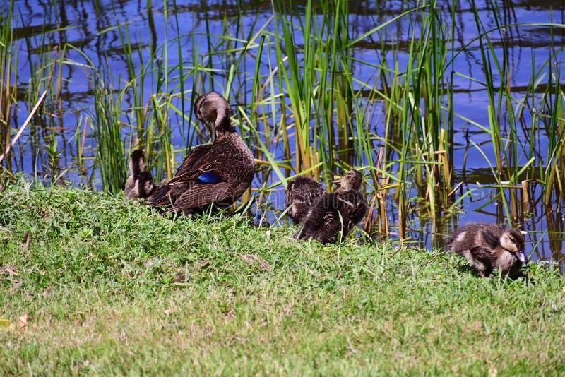 Enten, die am Rand des Teichs sitzen lizenzfreie stockfotos