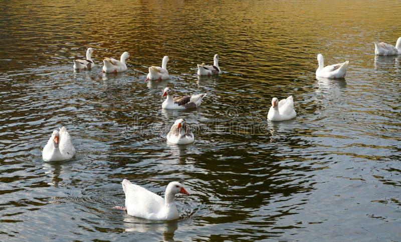 Enten in einem See lizenzfreie stockfotos
