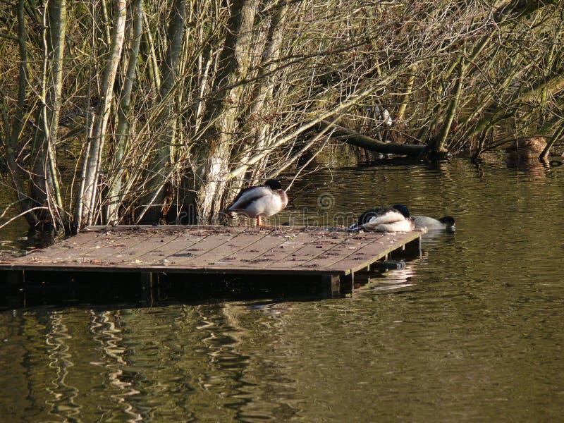 Enten an einem See stockbild