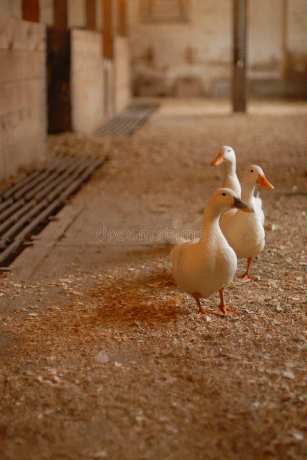 Enten in einer Reihe stockbild