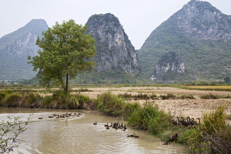 Enten in Guilin stockbilder
