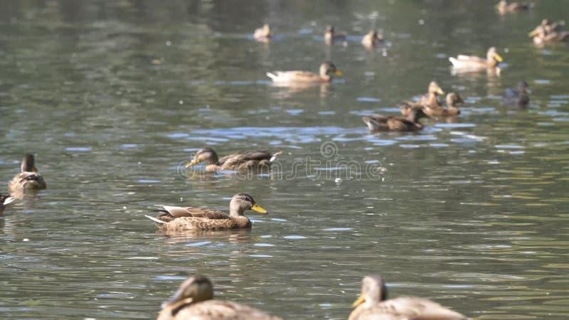 Enten im Park Enten im grünen Park an einem schönen Sommertag Enten in einem Stadtpark lizenzfreie stockfotografie