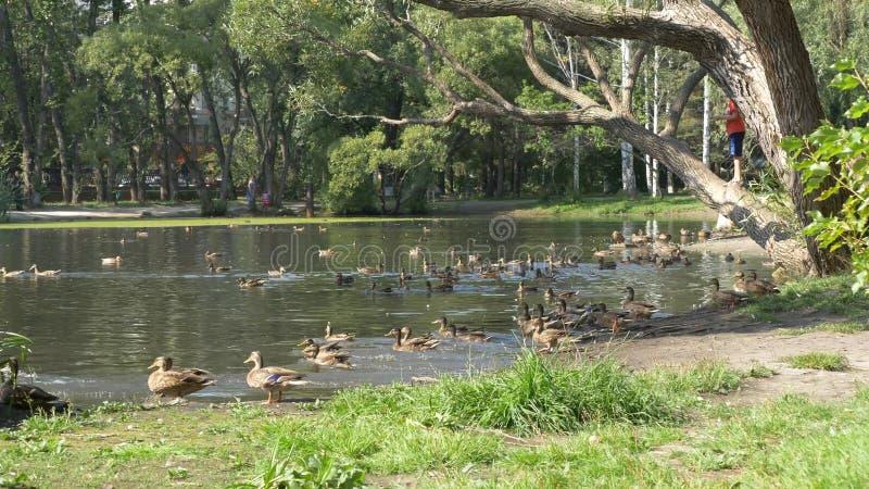 Enten im Park Enten im grünen Park an einem schönen Sommertag Enten in einem Stadtpark stockbild