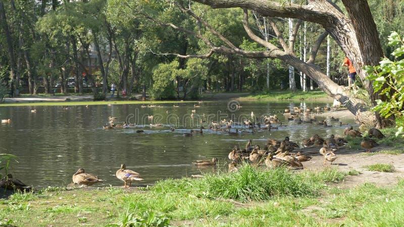 Enten im Park Enten im grünen Park an einem schönen Sommertag Enten in einem Stadtpark stockfotografie