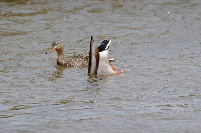 2 Enten im Wasser mit einem, das für Lebensmittel taucht stockfotos