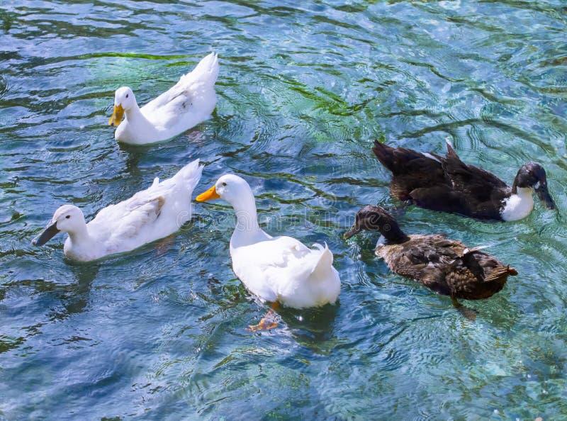 Enten im Wasser stockfotografie