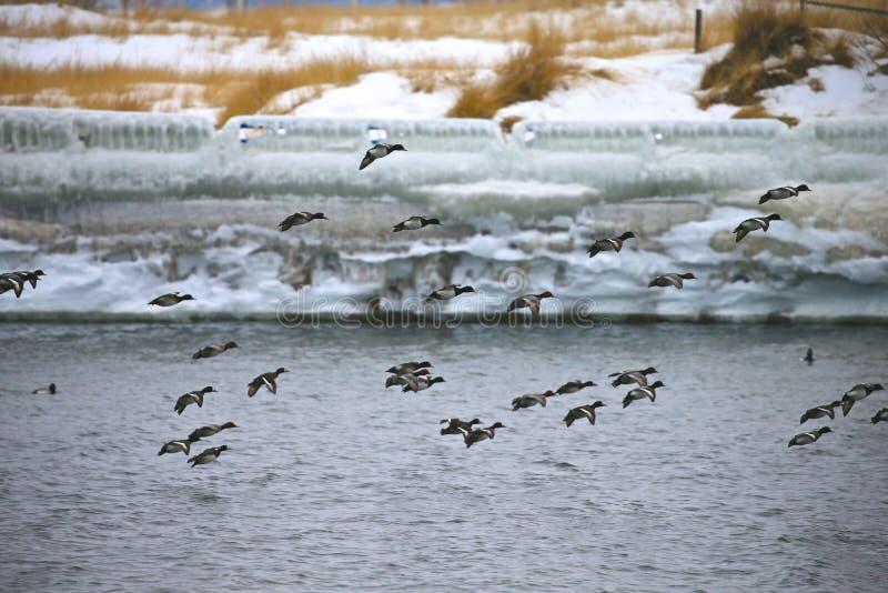 Enten im Winter lizenzfreie stockfotografie