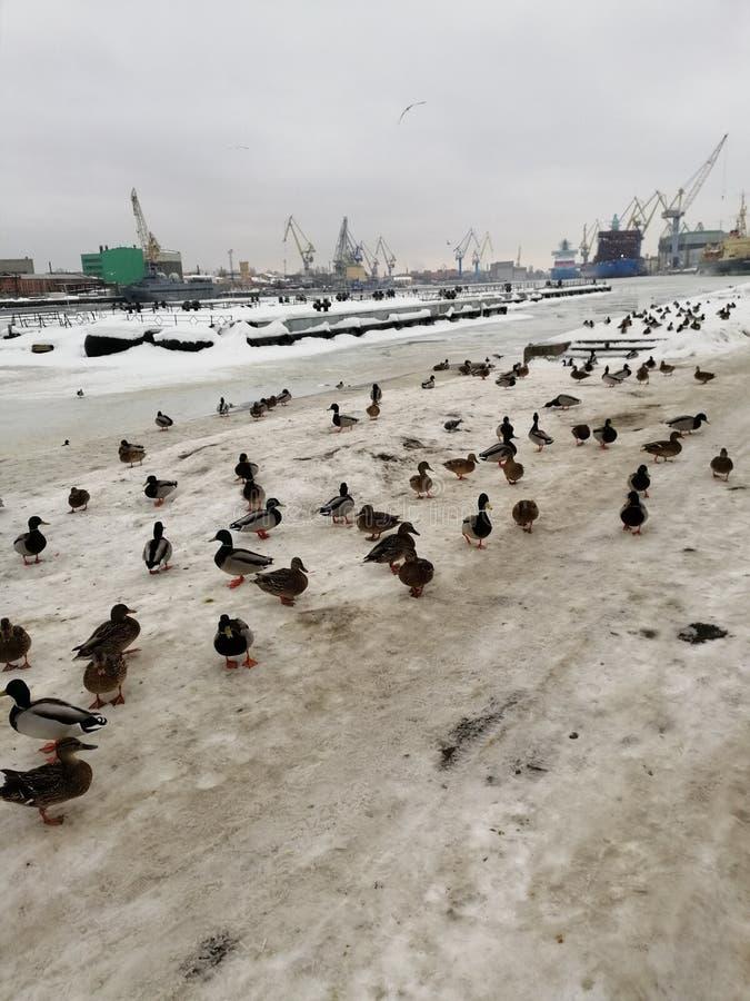 Enten im Winter am Hafen stockfotografie