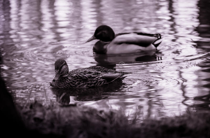 Enten passen Sie auf stockfotografie