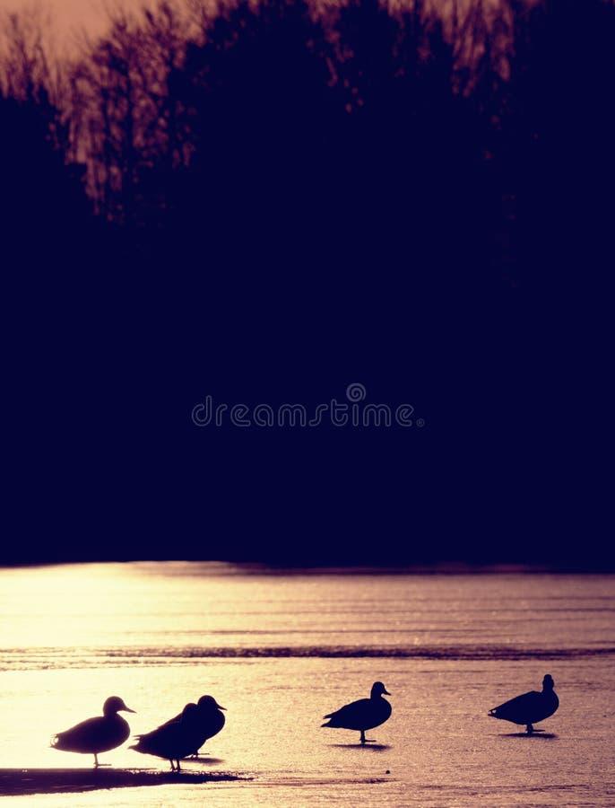 Enten schwimmen oder, stillstehend auf Eis, gefrorener Winterfluß S lizenzfreie stockfotografie