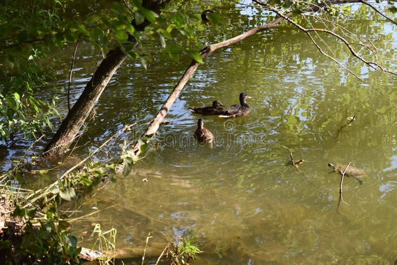 Enten und Baum stockbild