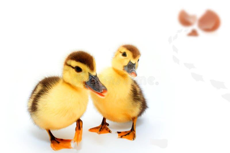 Enten und Ei stockfotografie