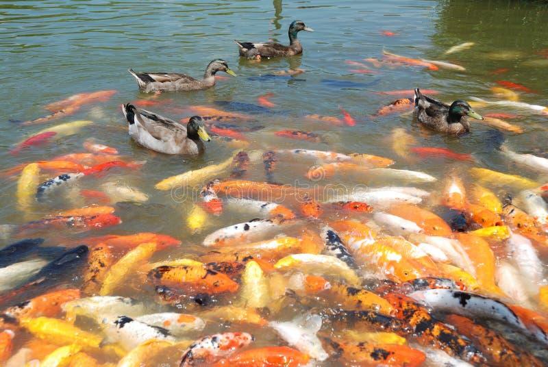 Enten und Fische stockfotos