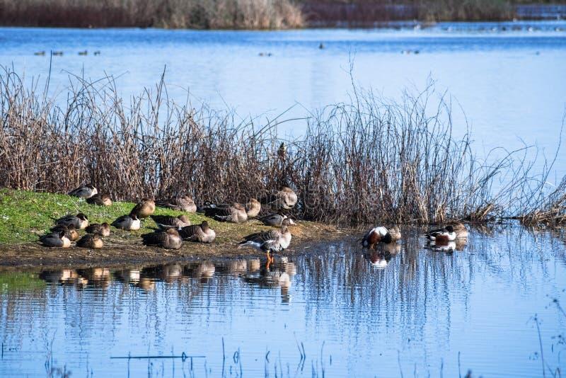 Enten und Gänse, die auf der Küstenlinie von einem Teich stillstehen stockfoto