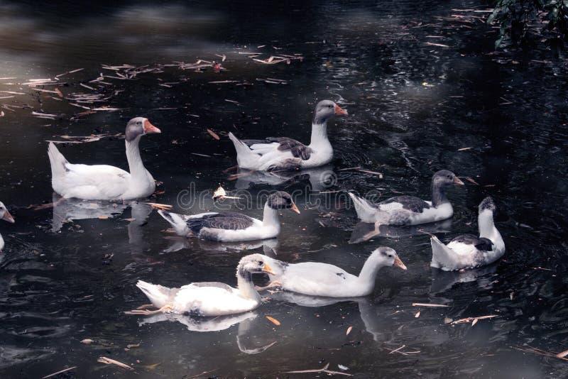 Enten und Gänse im See stockfotografie