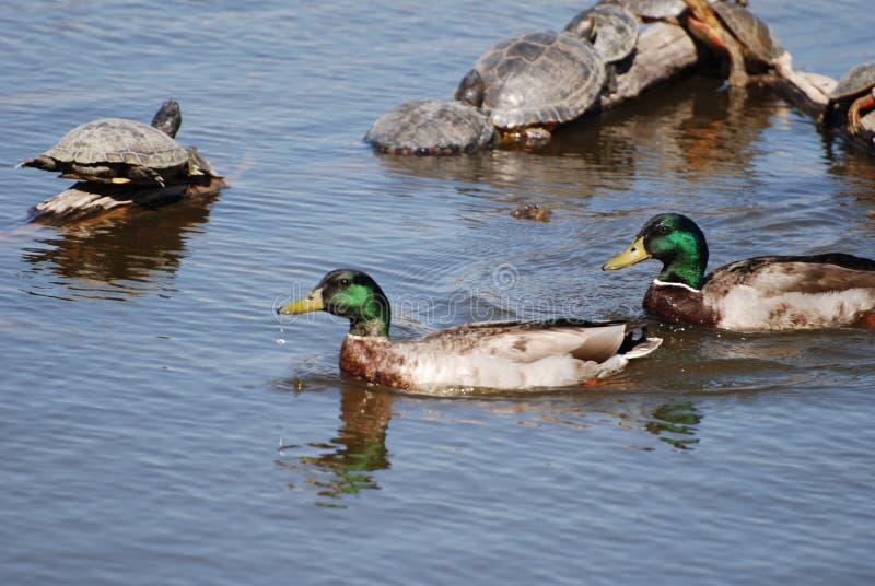 Enten und Schildkröten bei Rio Grande Nature Center stockfoto