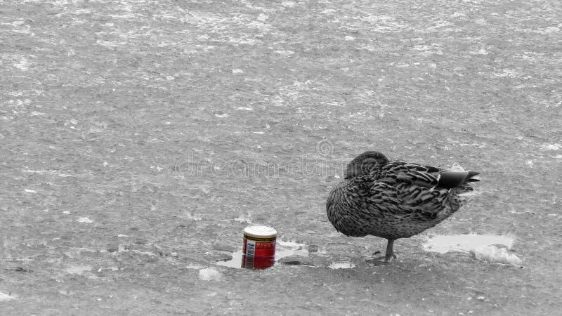 Enten ziehen ` t Getränk es an lizenzfreie stockbilder