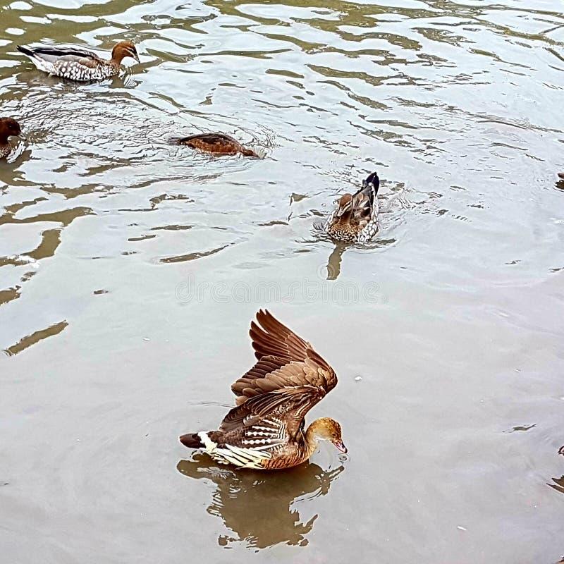 Entenfliegen aus Wasser heraus lizenzfreie stockbilder