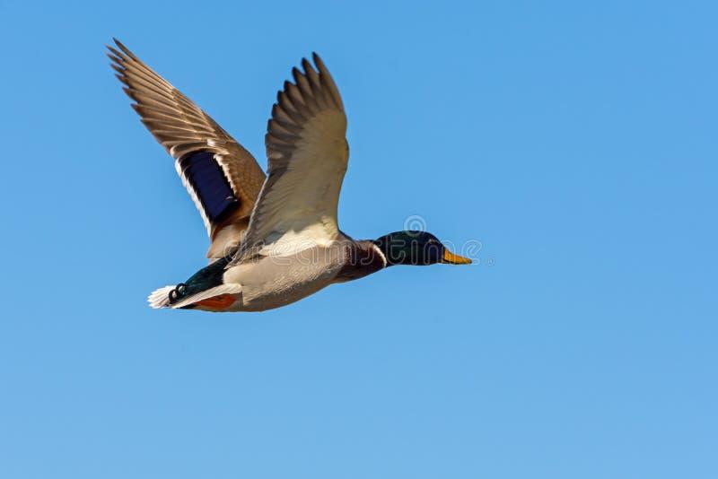 Entenfliegen und blauer Himmel lizenzfreie stockbilder