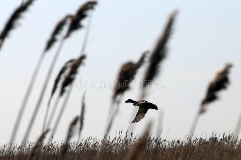 Entenfliegen unter den Schilfen mit blauen Himmeln im Hintergrund lizenzfreie stockbilder
