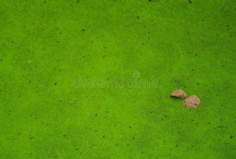 Entengrütze im Teich stockbilder