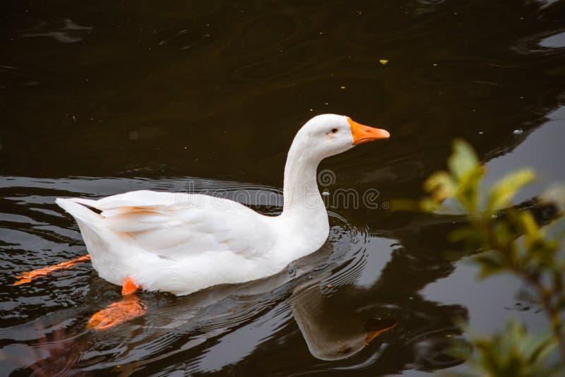Entenschwimmen in einem Teich stockfotografie