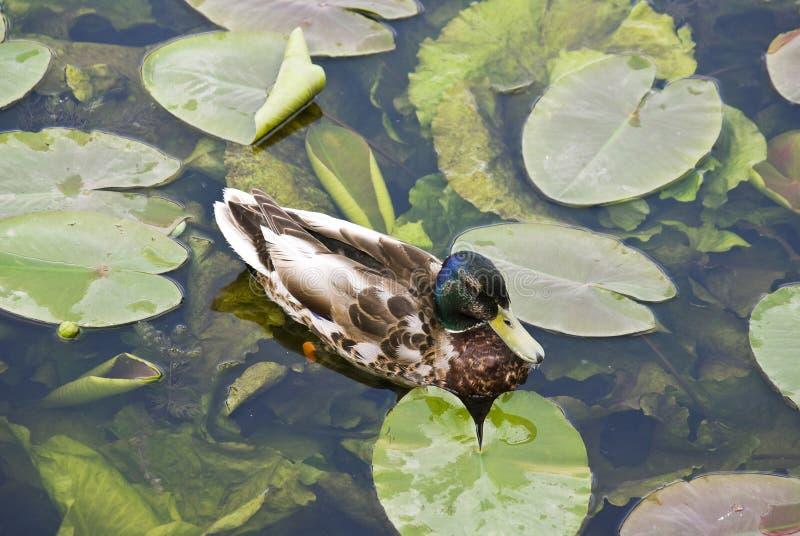 Entenschwimmen in einem Teich lizenzfreies stockfoto