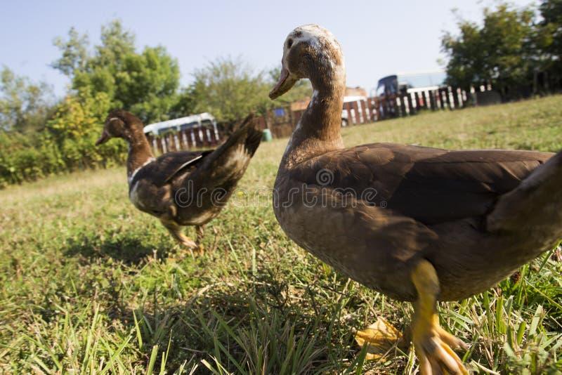 Entenweg auf grünem Rasen Zwei Enten gehen auf den grünen Rasen auf dem Bauernhof Abschluss oben enten lizenzfreie stockfotos