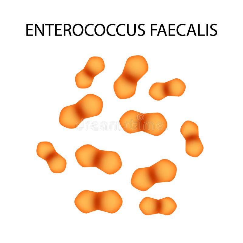 Enterococcus faecalis Patogenne flory Bakteria powoduje jelitowe choroby Infographics również zwrócić corel ilustracji wektora royalty ilustracja