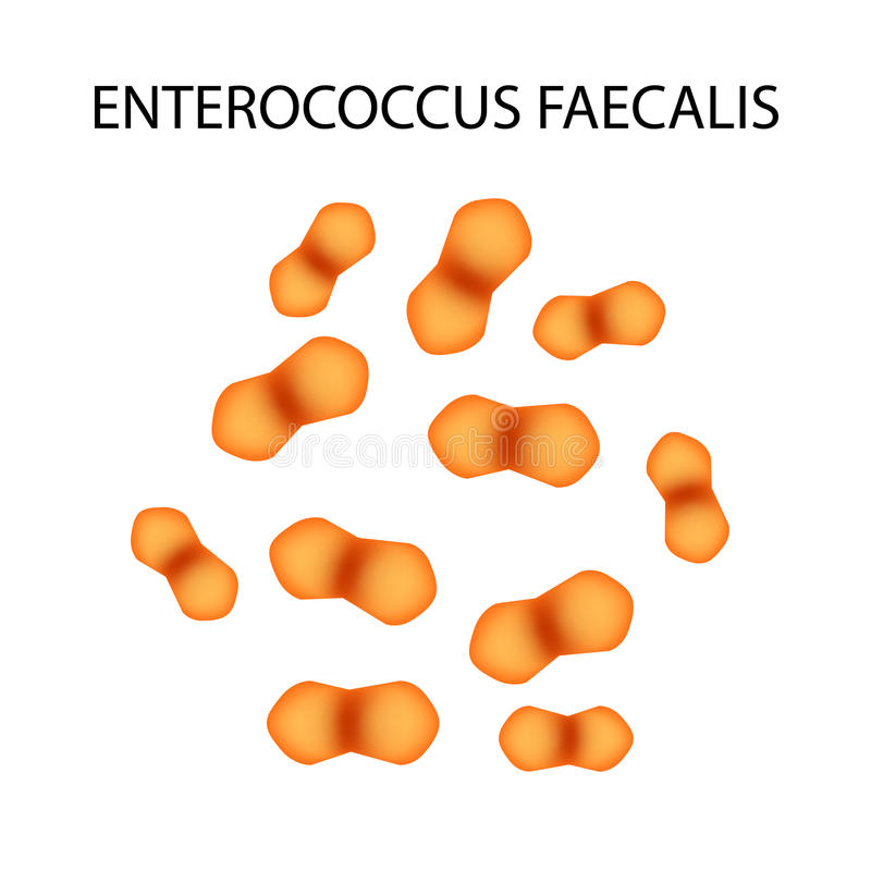 Enterococo faecalis Flora patógena La bacteria causa enfermedades intestinales Infografía Ilustración del vector libre illustration