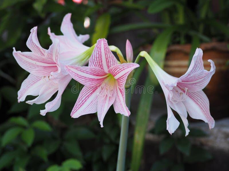 Enterro do johnsonii cor-de-rosa do lírio ou do Hippeastrum da estrela no jardim fotografia de stock royalty free