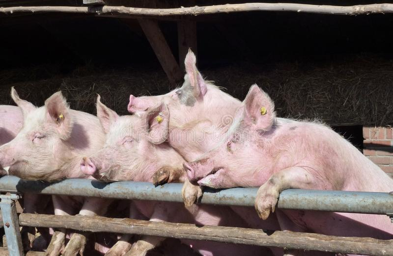 Download Enthousiastic Pigs Stock Photo - Image: 28030350