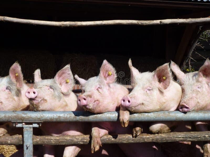 Enthousiastic Schweine stockfotos