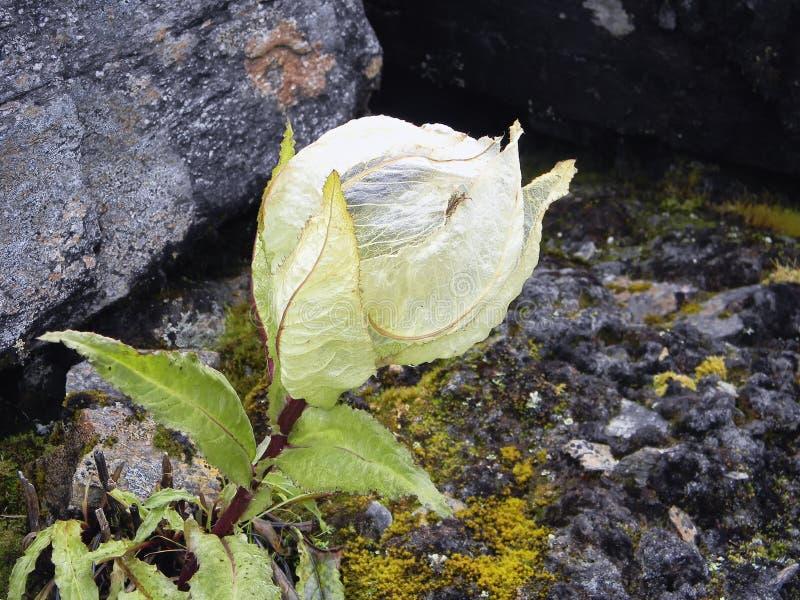 Enthusiastic Himalayan Brahma Kamal flower. stock photo