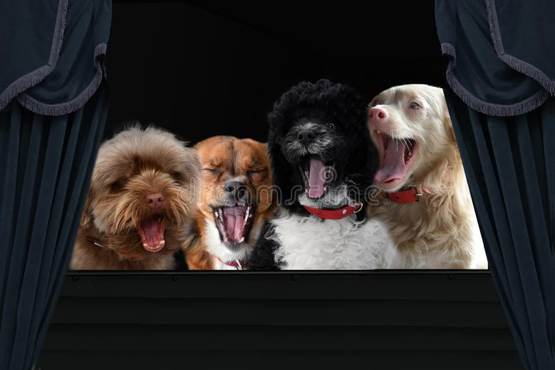 Four enthusiastically  loud singing dogs. Enthusiastically singing dogs sitting on tribune and support with their  song the performance or bring birthday royalty free stock photo