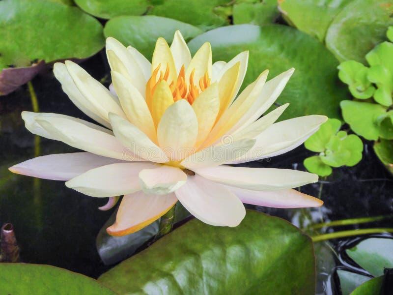 Entièrement fleur blanche de nénuphar de fleur avec le centre orange dans un étang photographie stock libre de droits