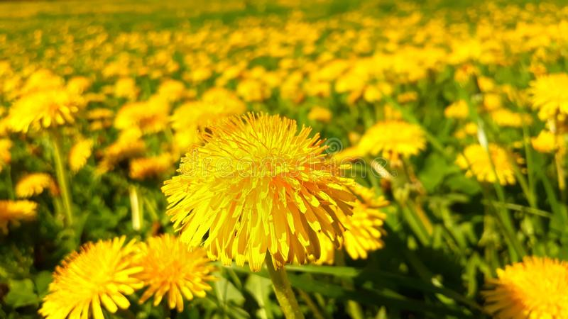 An entire field with dandelions royalty free stock image