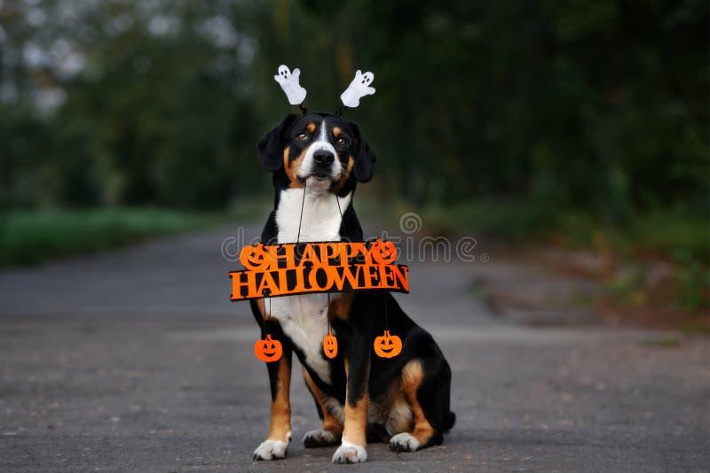 Entlebucher dog holding a happy halloween sign royalty free stock photos