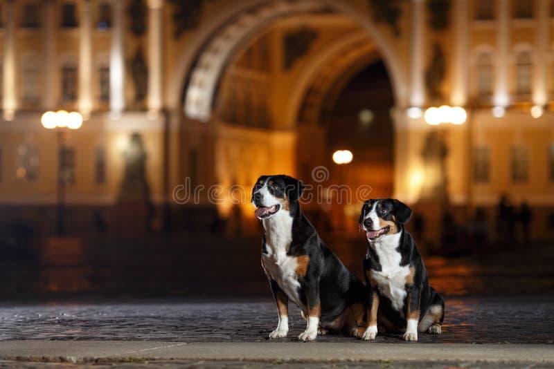 Entlebucher góry pies, Sennenhund chodzi na nocy fotografia stock