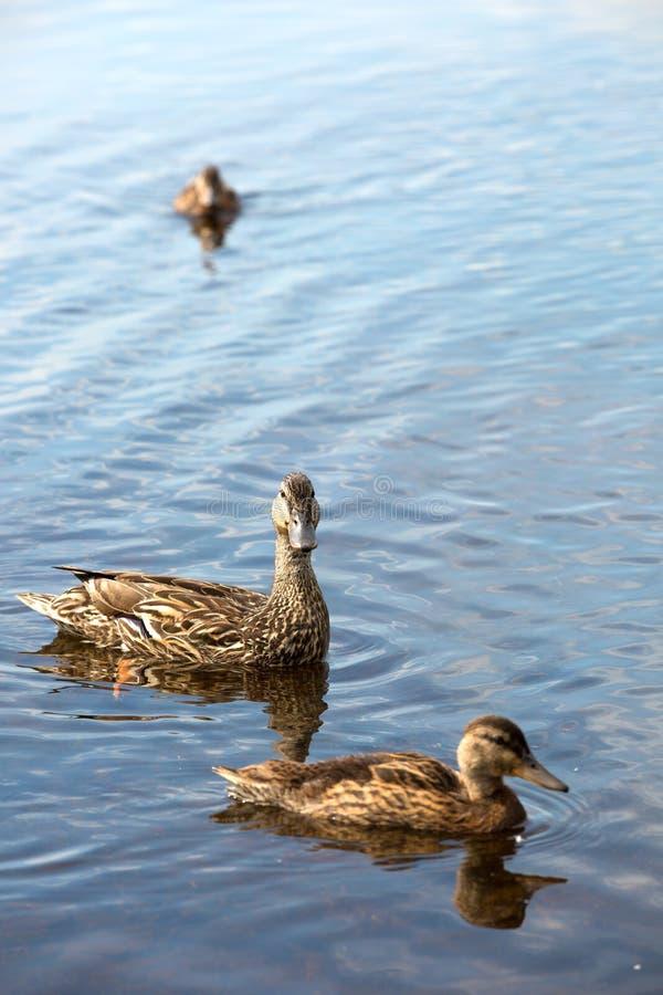 Entlein, die auf einen See in Kanada schwimmen lizenzfreies stockbild