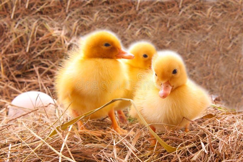 Entlein drei, das Eier schützt stockfoto