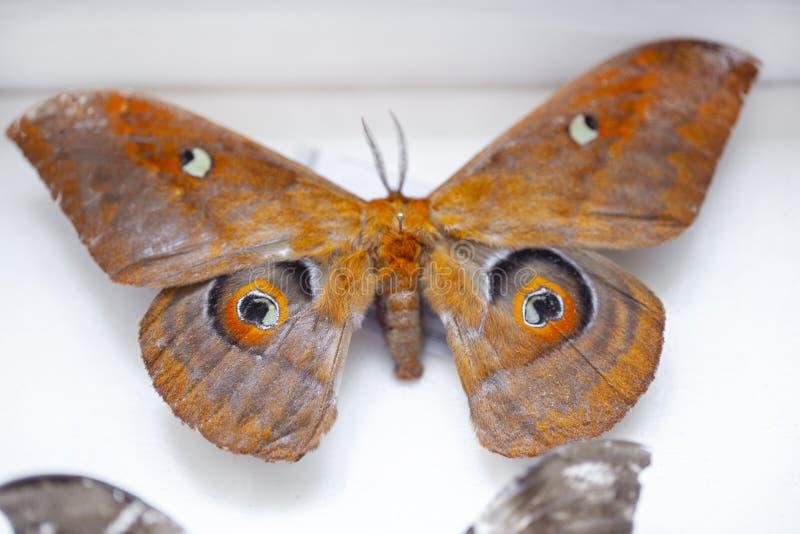 Entomología colección de mariposas tropicales para estudiar entomología científica foto de archivo libre de regalías